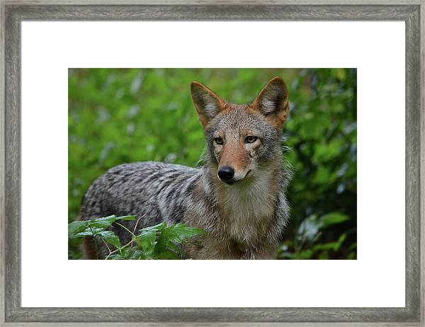 Coyote On The Prowl  Framed Print