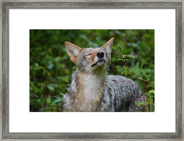 Coyote Soaking Up The Morning Sun Framed Print