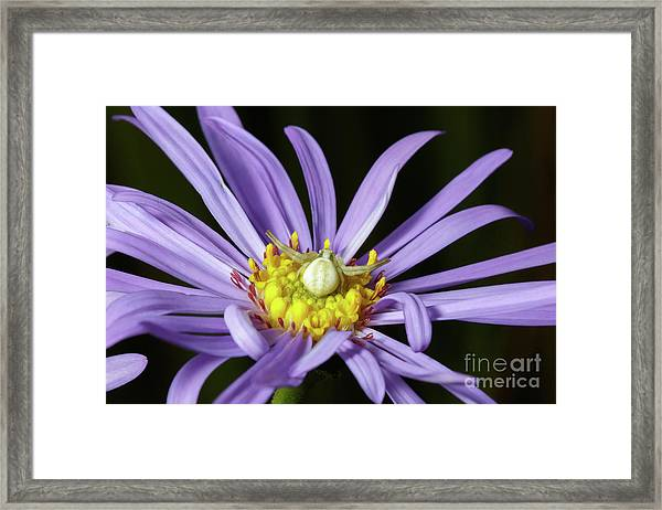 Crab Spider - Misumena Vatia - On Purple Aster Flower Framed Print