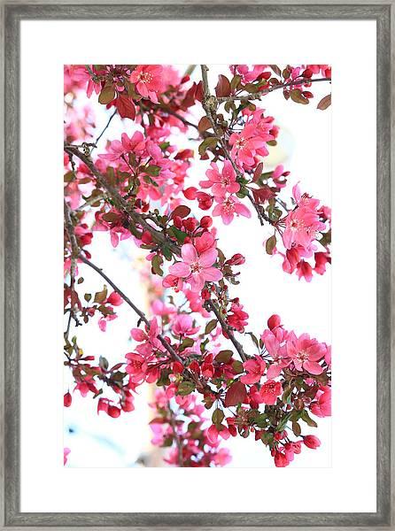 Crabapple Beauty Framed Print