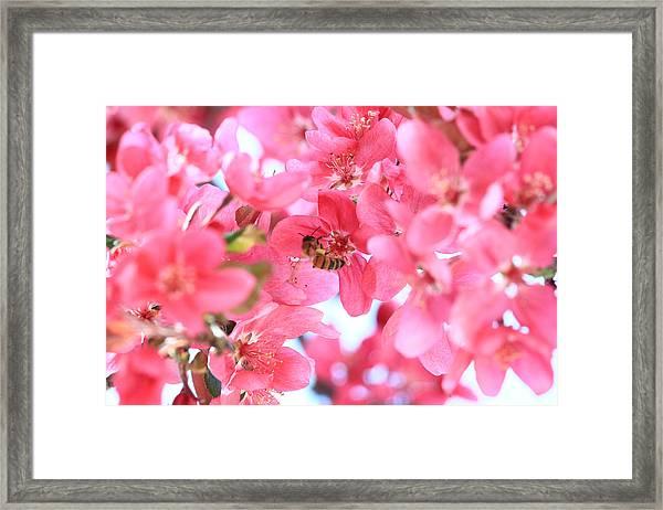 Crabapple Bees 2 Framed Print