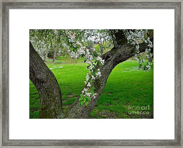 Crabapple Blossoms On A Rainy Spring Day Framed Print