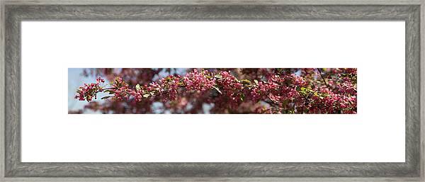 Crabapple In Spring Panoramic Framed Print
