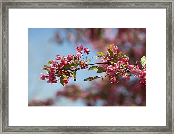 Crabapple In Spring Section 1 Of 4 Framed Print
