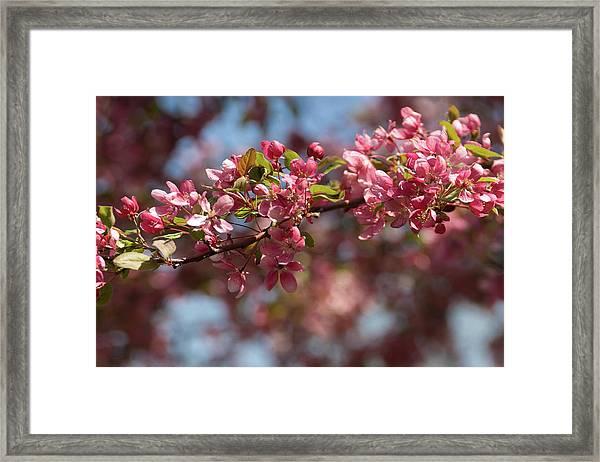 Crabapple In Spring Section 2 Of 4 Framed Print