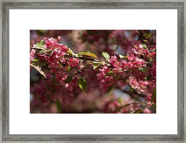 Crabapple In Spring Section 3 Of 4 Framed Print