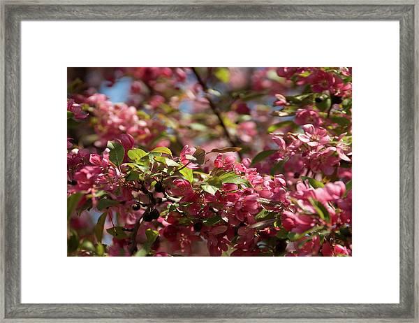 Crabapple In Spring Section 4 Of 4 Framed Print
