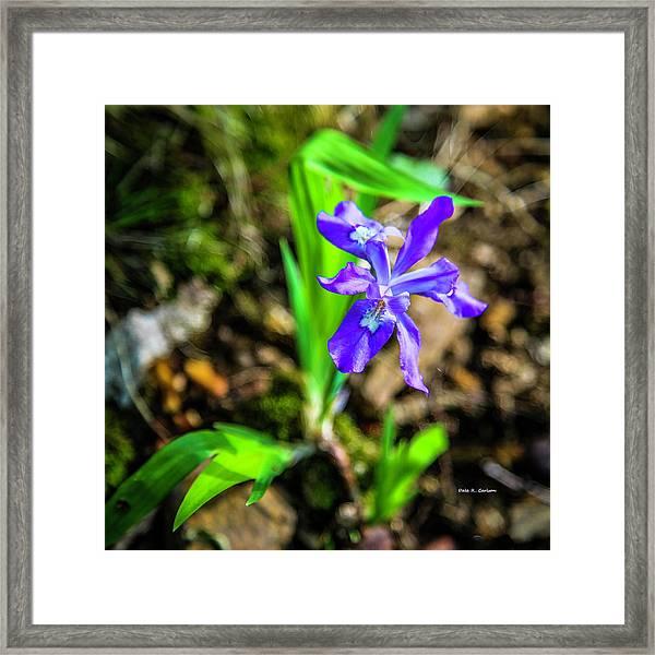 Crested Dwarf Iris Framed Print