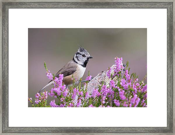 Crested Tit In Heather Framed Print