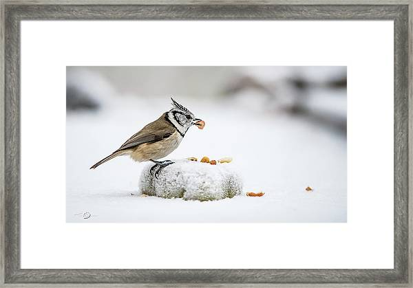 Crested Tit's Catch A Peanut Framed Print