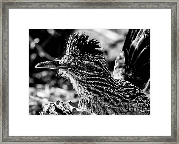 Cresting Roadrunner, Black And White Framed Print