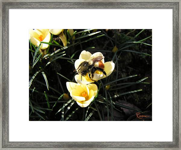 Crocus Gold Framed Print