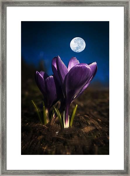 Crocus Moon Framed Print