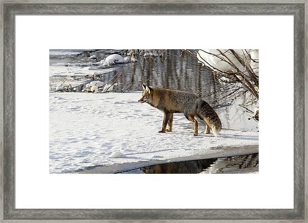 Cross Fox Framed Print
