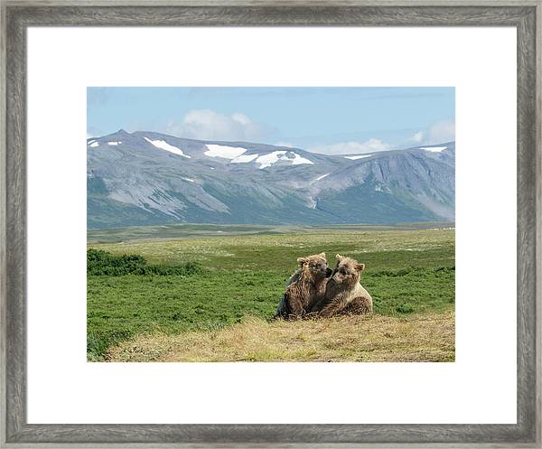 Cubs Playing On The Bluff Framed Print