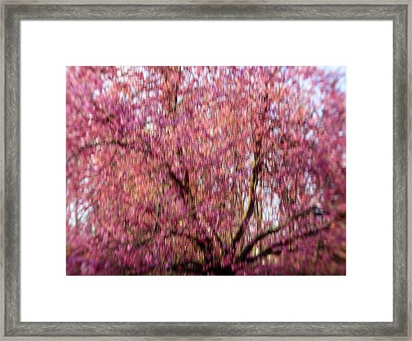 Columnar Sargent Cherry 2 Framed Print