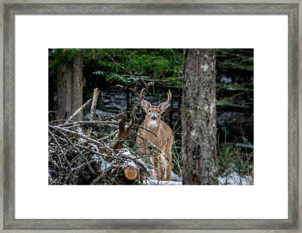 Curious Buck Framed Print