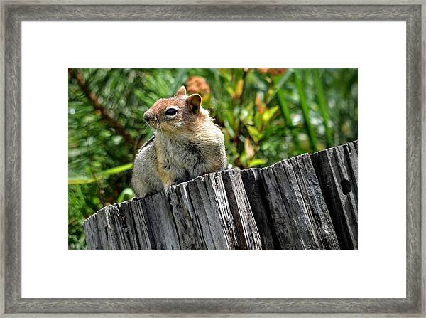 Curious Chipmunk Framed Print