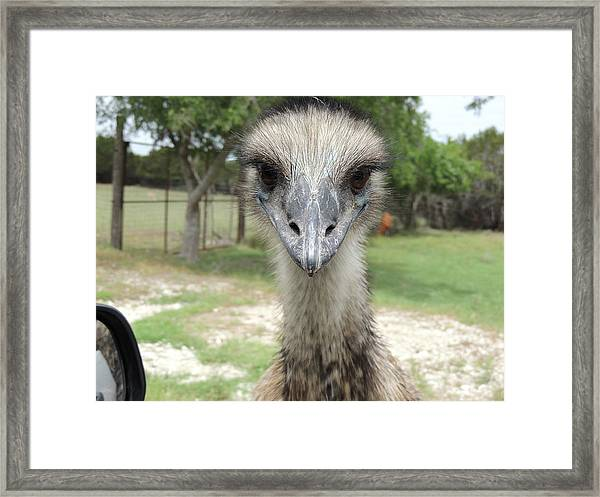 Curious Emu At Fossil Rim Framed Print