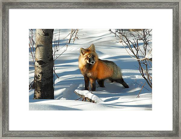 Curious Fox Framed Print