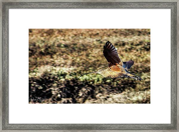 Curlew In Flight Framed Print