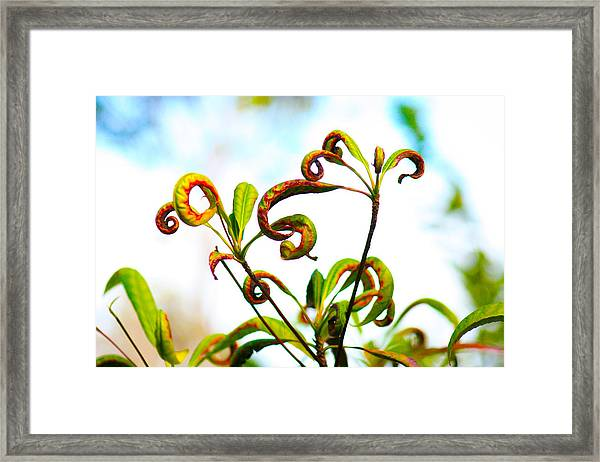 Curly Q's Framed Print by Nanette Hert