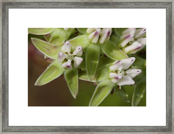 Curtiss' Milkweed #4 Framed Print