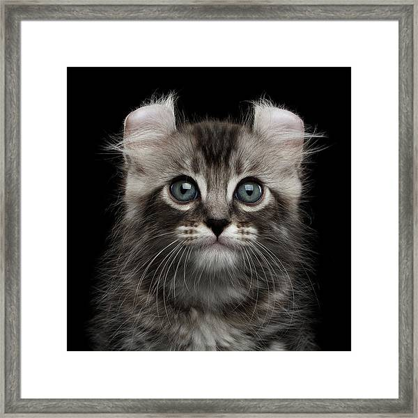 Cute American Curl Kitten With Twisted Ears Isolated Black Background Framed Print
