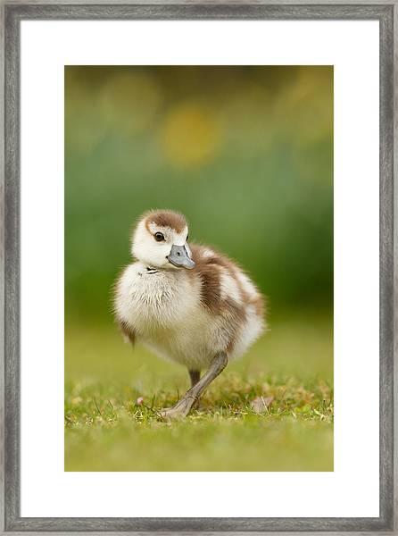 Cute Gosling Framed Print