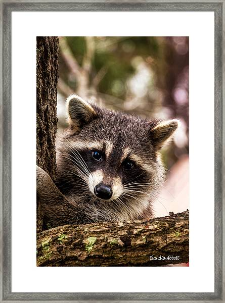 Framed Print featuring the photograph Cute Little Raccoon  by Claudia Abbott