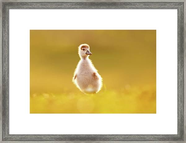 Cute Overload - Baby Gosling Framed Print