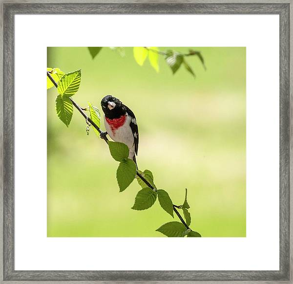 Cute Rose-breasted Grosbeak Framed Print