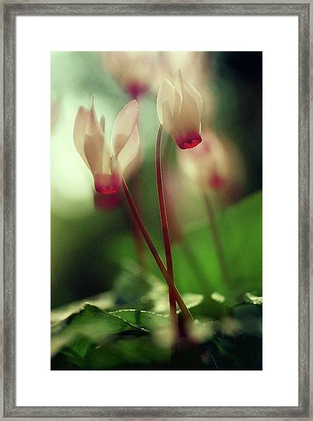 Cyclamens Framed Print