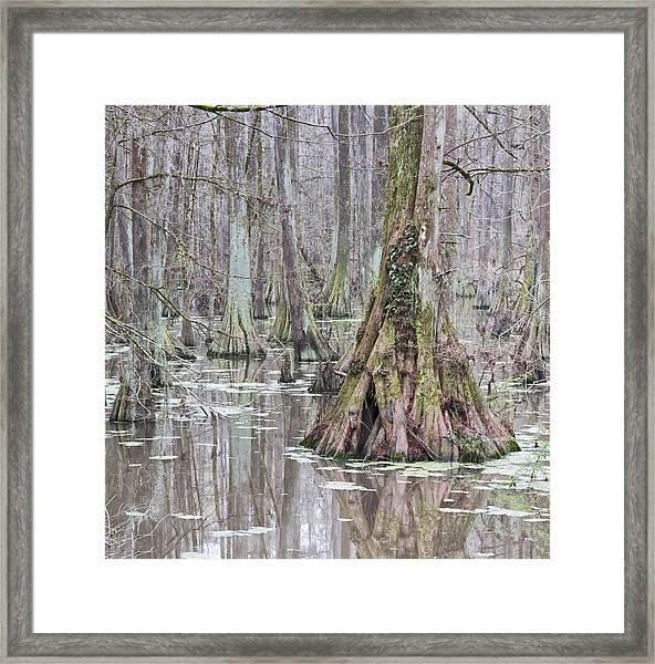 Cypress Swamp 01 Framed Print