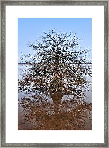 Cypress Tree In The Marsh Framed Print by Bill Perry