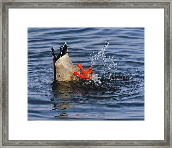 Dabbling - Mallard Framed Print
