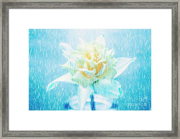 Daffodil Flower In Rain. Digital Art Framed Print