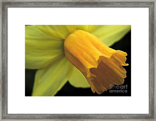 Daffodil - Narcissus - Portrait Framed Print