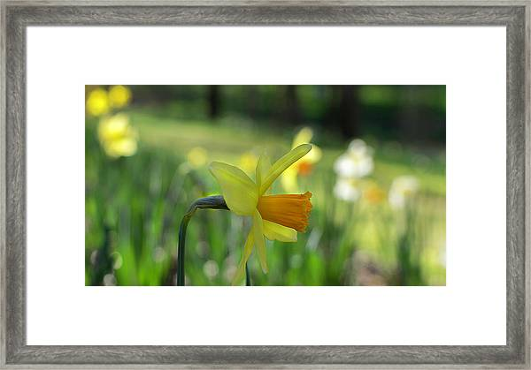 Daffodil Side Profile Framed Print
