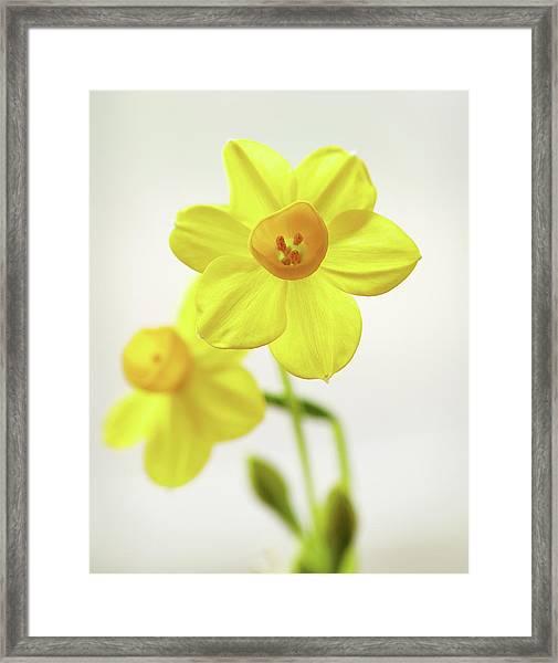 Daffodil Strong Framed Print