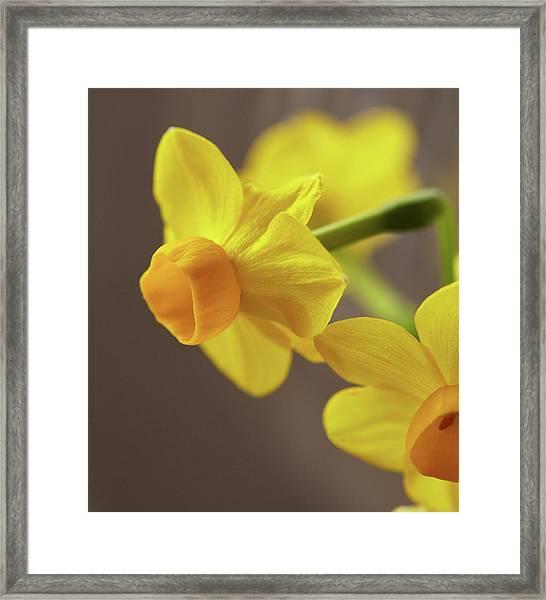 Daffodil Sunrise Framed Print