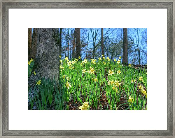 Daffodils On Hillside 2 Framed Print