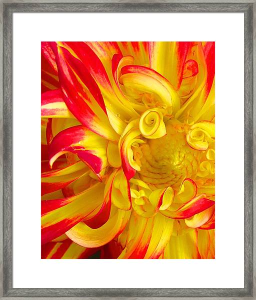 Dahlia Curls Framed Print
