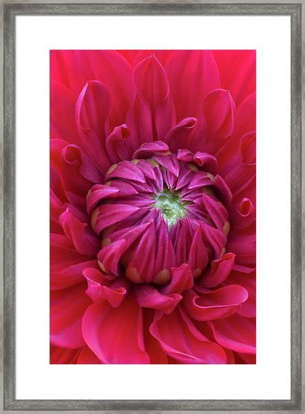 Dahlia Heart Framed Print
