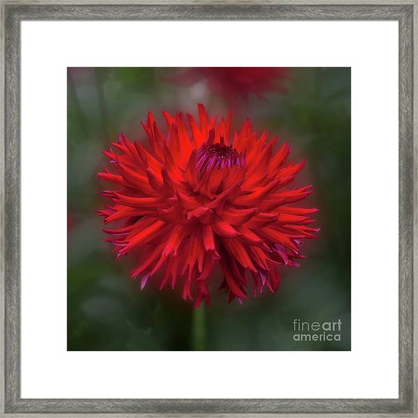 Dahlia 'hollyhill Miss Scarlet' Framed Print