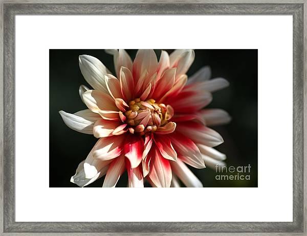 Dahlia Warmth Framed Print