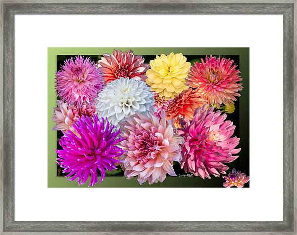 Framed Print featuring the photograph Dahlias Of The Yukon by Claudia Abbott