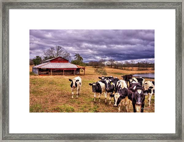 Dairy Heifer Groupies The Red Barn Dairy Farming Art Framed Print