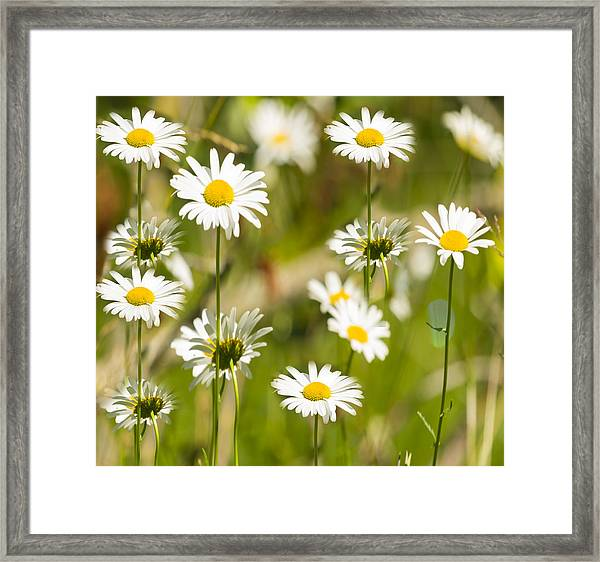 Daisies Galore 2014-1 Framed Print