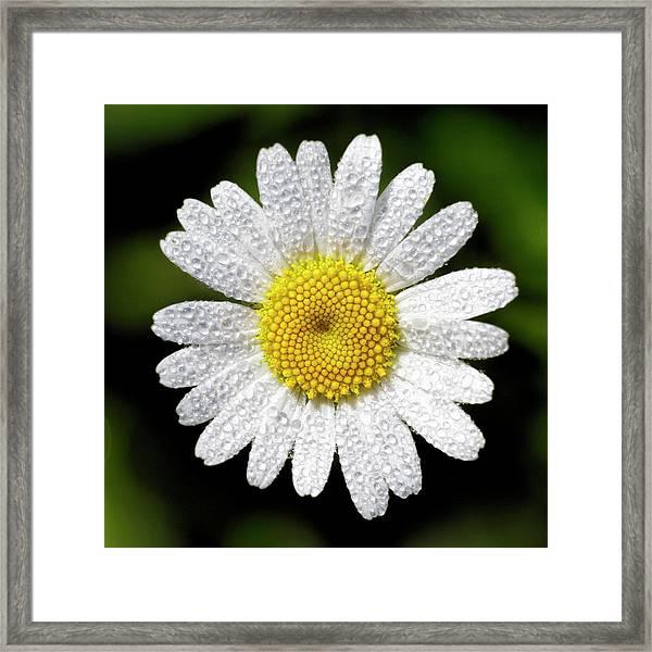 Daisy And Dew Framed Print